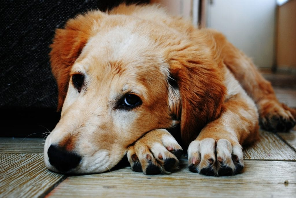 Arthritis in dogs Causes, Symptoms and Treatment