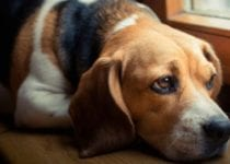 Colitis in Dogs Causes,Symptoms, Diagnosis,Treatment